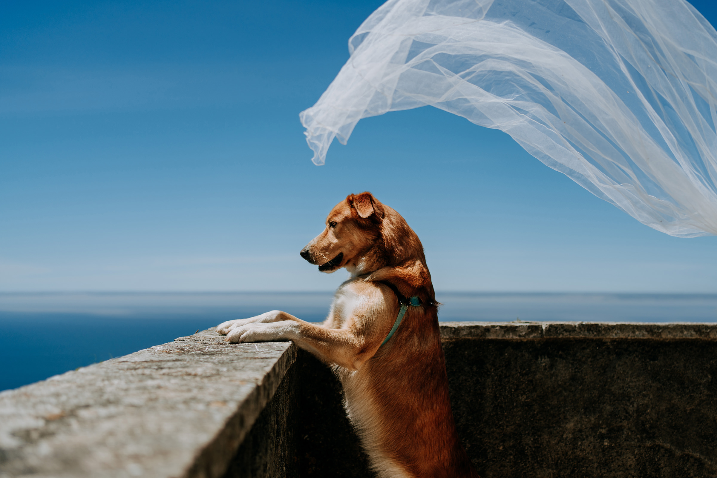 dog-show-fotolux-worlds-best-wedding-photos-dog-and-veil