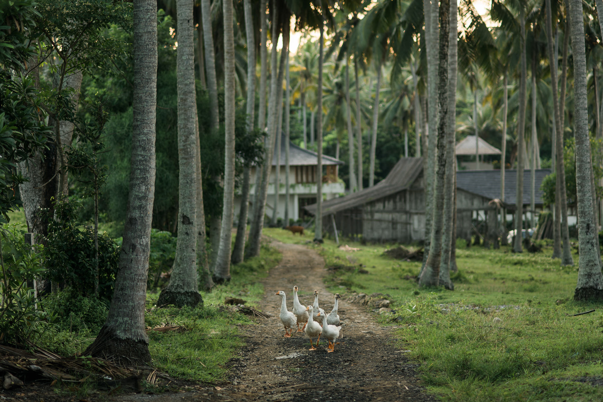 Geese walk along tropical path photo by Nordica Photography
