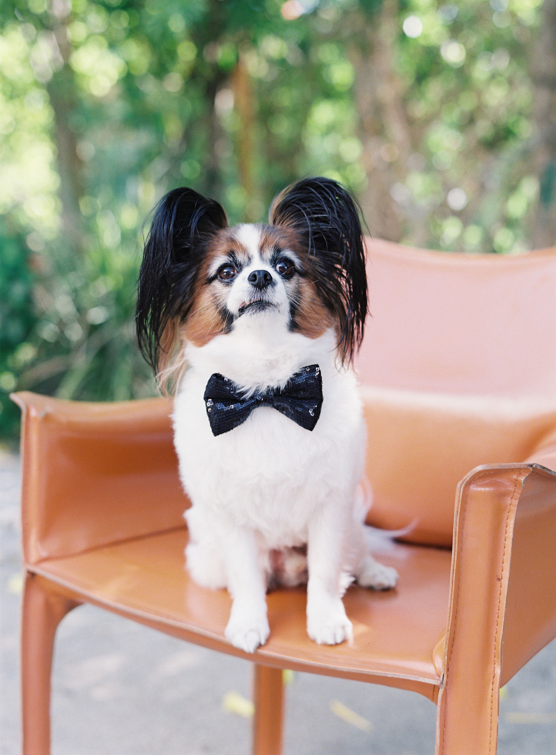 Adorable Yorkshire Terrier in bow-tie  -  photo by Corbin Gurkin