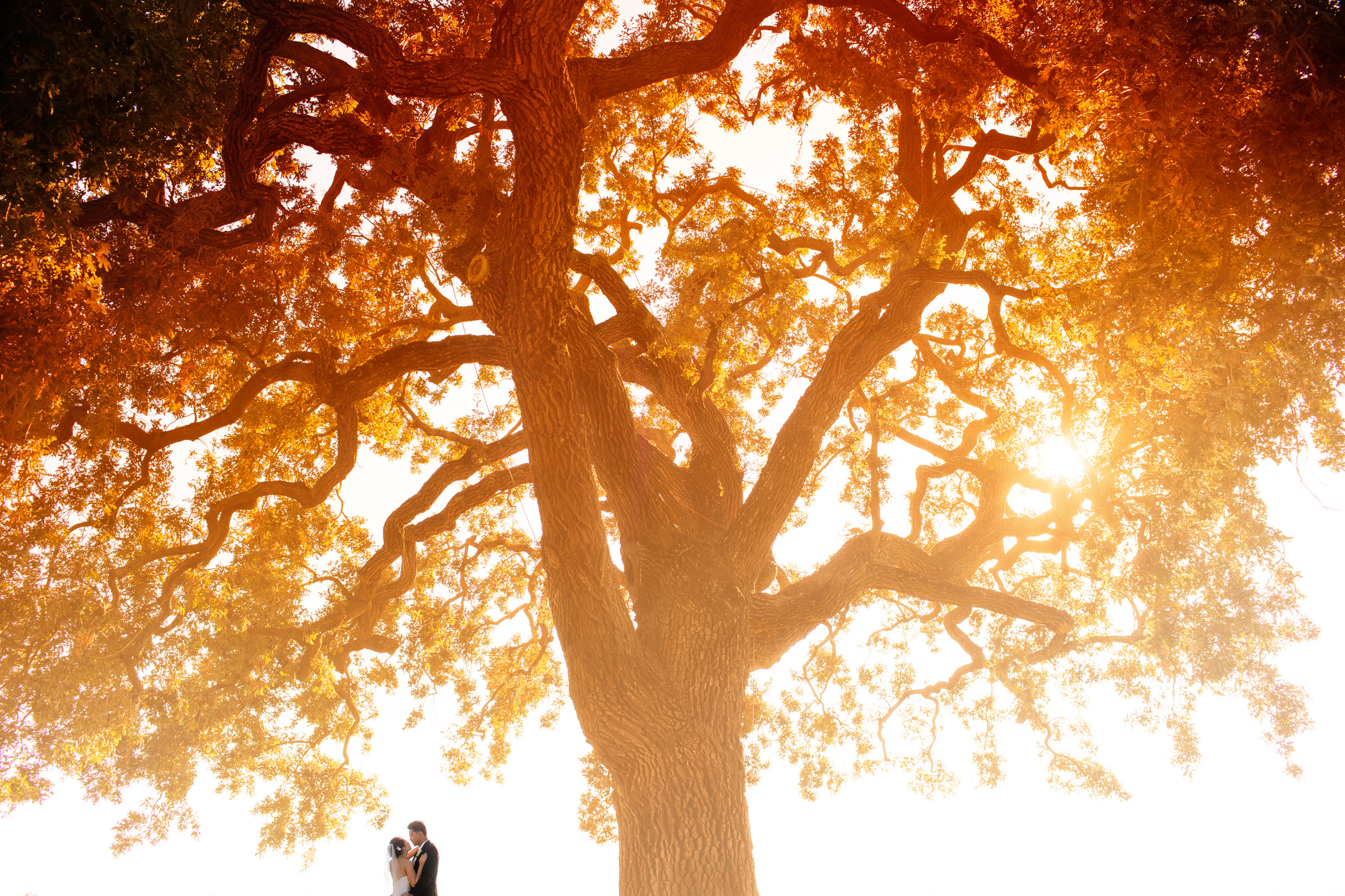 Bride and groom under majestic tree during golden hour - photo by Chrisman Studios