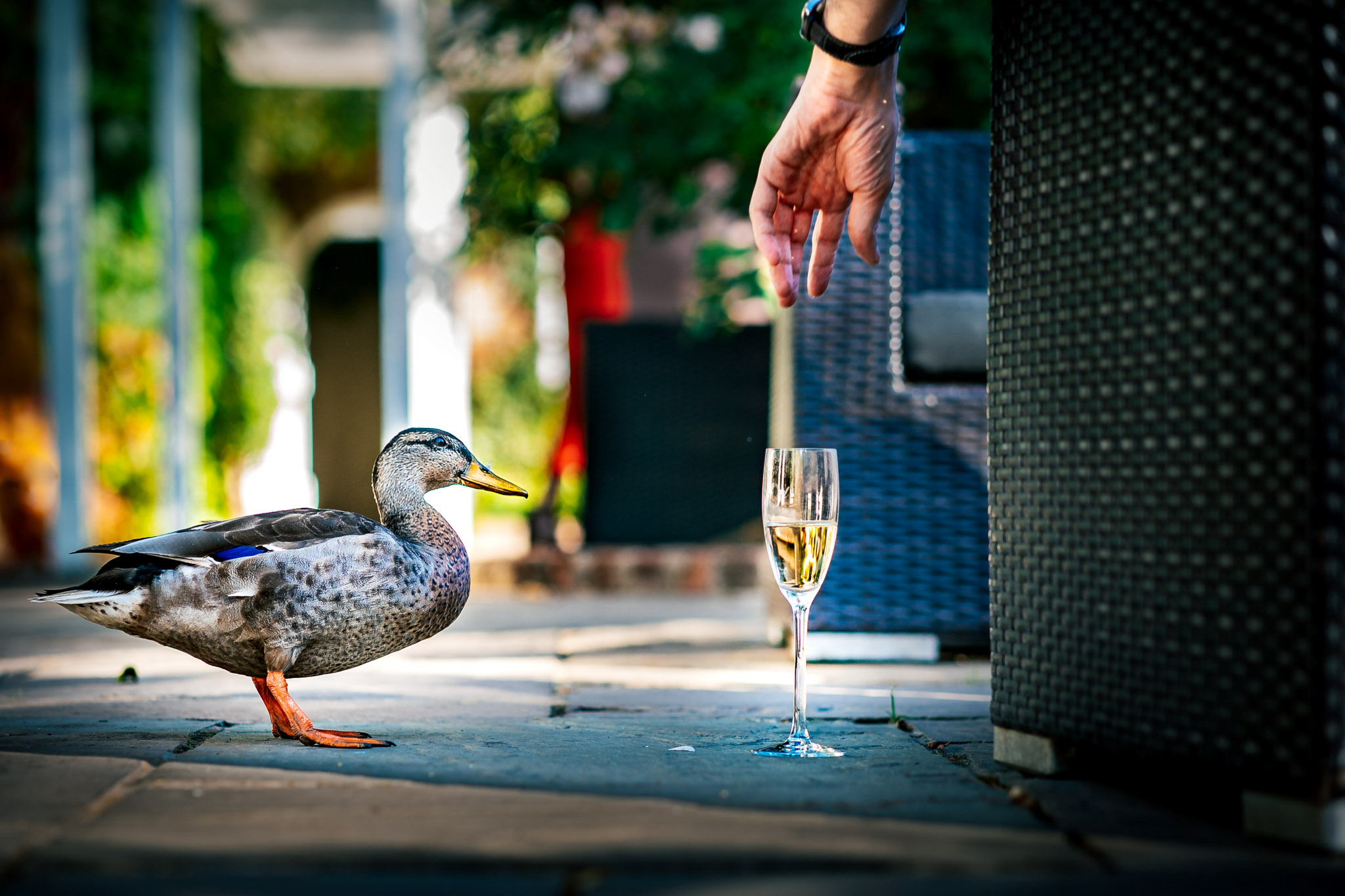 Duck eyes glass of champagne - photo by Andrew Billington Photography
