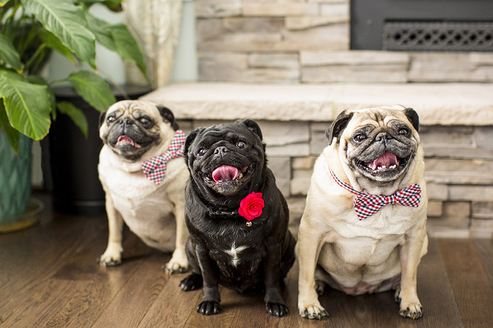 Pugs with boutonnieres and bow ties - photo by Anna Schmidt Photography - DC